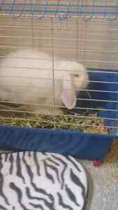 20$ lop bunny male