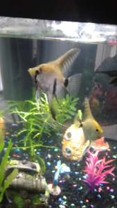 2 young Angelfish (sold)
