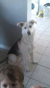 LOST HUSKY MIX DOG