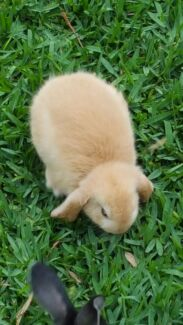Adorable Pure Breed Mini Lop Rabbits Eastlakes Botany Bay Area Preview