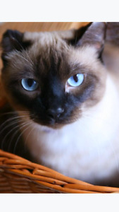 Affectionate Siamese looking for a new home