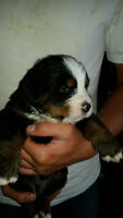 Bernese Mountain Pup for Sale!!