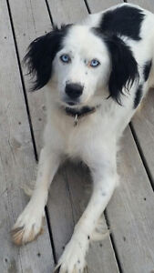 Lost Border collie mix in James River