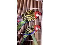 2 Golden-Mantled Rosella Parrots, white 3ft cage & black hanging stand