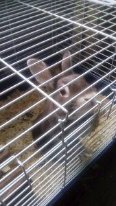 Dwarf bunny for sale