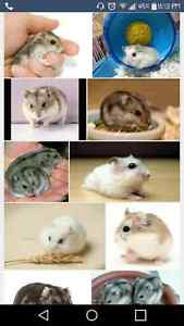 Looking for a dwarf hamster