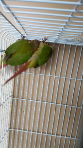 Selling my pineapple conure parrots!