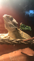 Re homing Male Bearded Dragon
