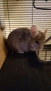 Chinchilla Looking for new loving home Edmonton Edmonton Area image 5