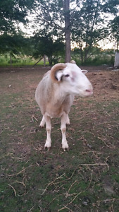 Dorset Ram for Sale