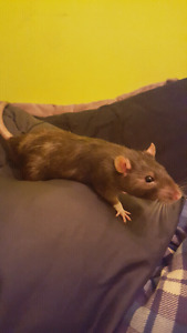 Male and female rat to a good home.