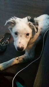 5 Month Border Collie x Australian Shepherd Puppy for Rehoming