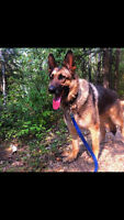 "ADOPTABLE: Male purebred German Shepherd ""Levi"""