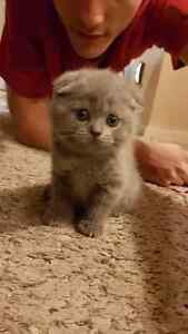 Adorable Pure breed Sottish Fold kittens