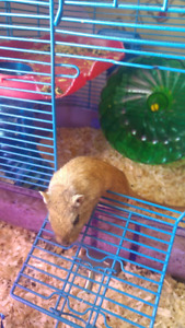 Gerbil for sale with cage