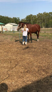 14 Year sold Bay Horse