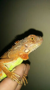 Red and green iguanas Reefs N Reptiles Kingston Kingston Area image 2
