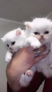 White fluffy Persian Himalayans and Persian Kittens Ready to go