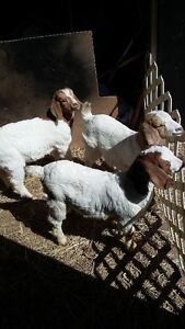 3 boer billy goats  3 months old