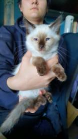 RAGDOLL Kittens. Boys and girls