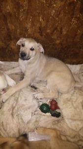 Mastiff and Lab mix Puppies- ONLY 2 MALES LEFT