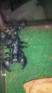 2 scorpions. 1 male 1 female.