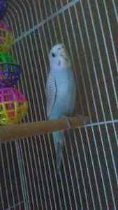 Gorgeous Pastel Blue and White Budgie