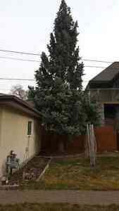 Black Out Tree Removal Edmonton Edmonton Area image 5