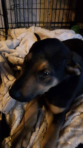 DON'T MISS OUT LAST male Rottweiler shepherd mix LEFT! 400 TODAY