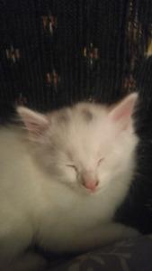 Female kitten needs home