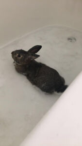Rabbit in need for rehoming