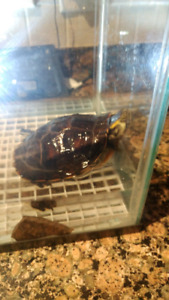Yellow belly turtle $35