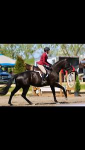 Tb mare for sale