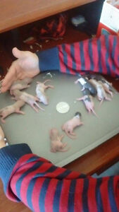 8 baby Rats that need a furever home