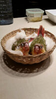 Baby handfed Pineapple CONURE SPECIAL: $250.00