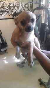 Two female Chihuahuas for sale