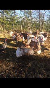 Turkey chicks***Barred Rock X***Hatching eggs