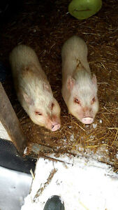 Two Miniature Pigs For Sale