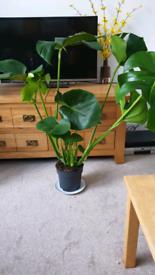 Huge monsters deliciosa plant