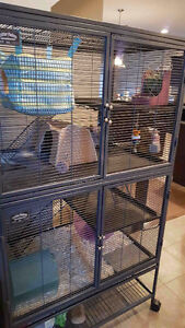 Chinchilla Looking for new loving home Edmonton Edmonton Area image 2
