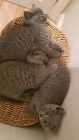 British Blue Short Hair kittens