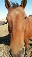 Appaloosa Horse for sale in Weyburn