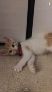 3 month old orange and white kitten free