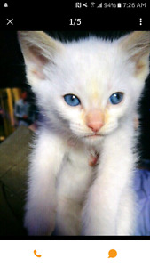 LOOKING FOR PURE WHITE KITTEN