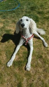 Pure Breed Standard Poodle puppy for sale