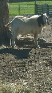 Purebred Boar Billy Goat