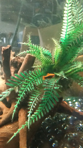 Black male mollies and assorted swordtails