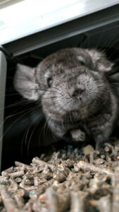 Bébé chinchilla black velvet