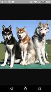 looking for a husky puppy or young adult