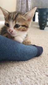 Kitten for sale SOLD / RE HOMED